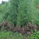 哪里买毛竹种苗 2公分毛竹 毛竹苗批发价格