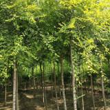 5公分金叶榆多少钱一棵 金叶榆树苗出售行情