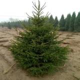 3-5米云杉树价格   云杉树基地供应