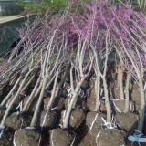 5公分紫荆小苗价格  紫荆树苗多少钱一棵