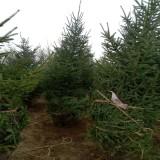 云杉树基地供应  3-5米云杉树价格