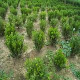 小叶黄杨苗价格 行情 江苏小叶黄杨种植基地出售