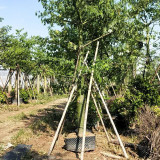 福建美人树基地 18公分美丽异木棉价格