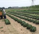 江苏黑麦草基地直销   黑麦草批发价格