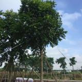 仁面子树原产地供应批发 人面子市场价格