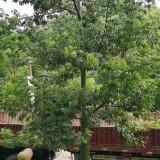 大腹木棉多少钱一棵 20公分大腹木棉树价格