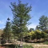小叶榄仁18公分价格 福建小叶榄仁树供应基地