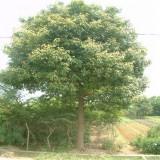 优质香樟树批发价格 沭阳香樟种植基地