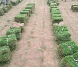 马尼拉草坪基地批发价格