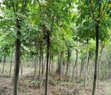 黄山栾树基地批发  栾树多少钱一棵  黄山栾树种植前景