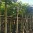 20公分凤凰木价格 批发 凤凰木树苗多少钱