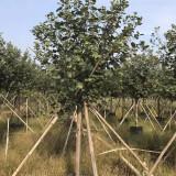 黄槿树价格 福建黄槿种植基地出售