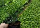 云南紫三角梅苗,云南紫三角梅袋苗,质量优,价格低,规格全,欢迎选购