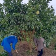 成都批发柚子树