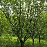 福建柚子树苗价格行情 柚子树苗种植基