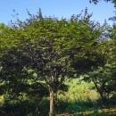 中国红枫树苗价格 中国红枫之乡 中国红枫基地批发