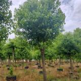 福建香樟树报价 15公分香樟树价格