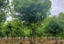 福建香樟树种植基地 15公分香樟树价格 行情