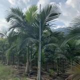 2米假槟榔多少钱 批发 假槟榔树价格