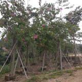 羊蹄甲树苗基地 20公分红花羊蹄甲价格