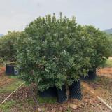 漳州哪里有卖杨梅树苗 附近杨梅树苗基地