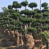 福建景观榕树桩头基地 20公分榕树桩头价格