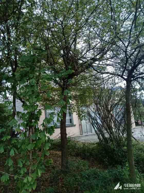 皂荚树基地供应 湖北皂角树基地种植