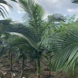 假槟榔树价格查询 3米4米假槟榔报价
