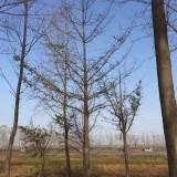 银杏树多少钱一棵  供应15-35公分银杏树