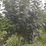 8公分丁香价格 批发 丁香树多少钱
