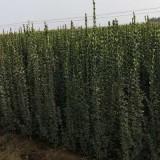 山东北海道黄杨  北海道黄杨价格 北海道黄杨基地种植