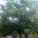 20公分美丽异木棉多少钱一颗 美丽异木棉树繁育基地