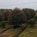 2米红叶石楠球多少钱 批发 红叶石楠球价格