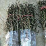 花椒苗批发基地 一年生花椒苗价格