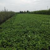 草莓苗批发  草莓苗价格  草莓苗种植基地