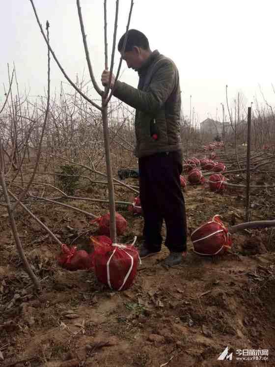 一年樱桃苗多少钱一颗 山西一年樱桃苗价格