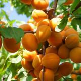 山西杏树苗便宜吗 苗圃直销杏树苗 价格行情