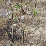 梨树苗多少钱一棵 山西梨树苗基地 低价销售