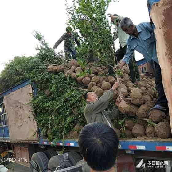 3公分石榴樹苗   石榴樹種植基地  石榴樹批發價格