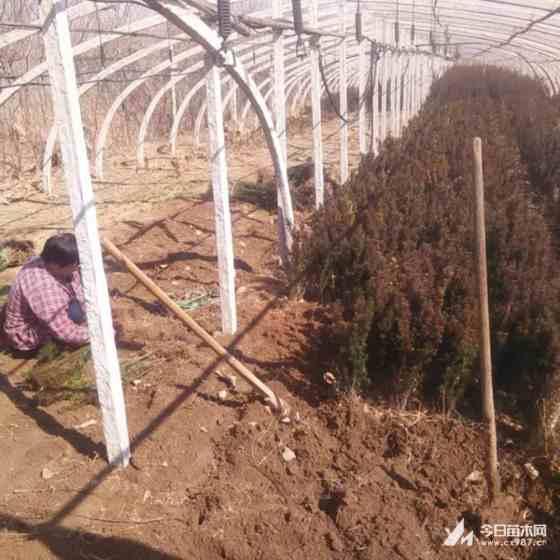 红豆杉小苗多少钱  红豆杉树苗批发报价  求购红豆杉