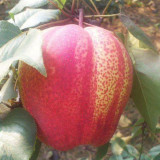 1公分苹果苗价格是多少 苹果苗批发基地 供应直销