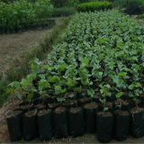 葡萄树苗种苗基地出售   2公分葡萄树苗多少钱一棵