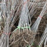山楂苗培育基地 直销出售 2公分山楂树苗价格