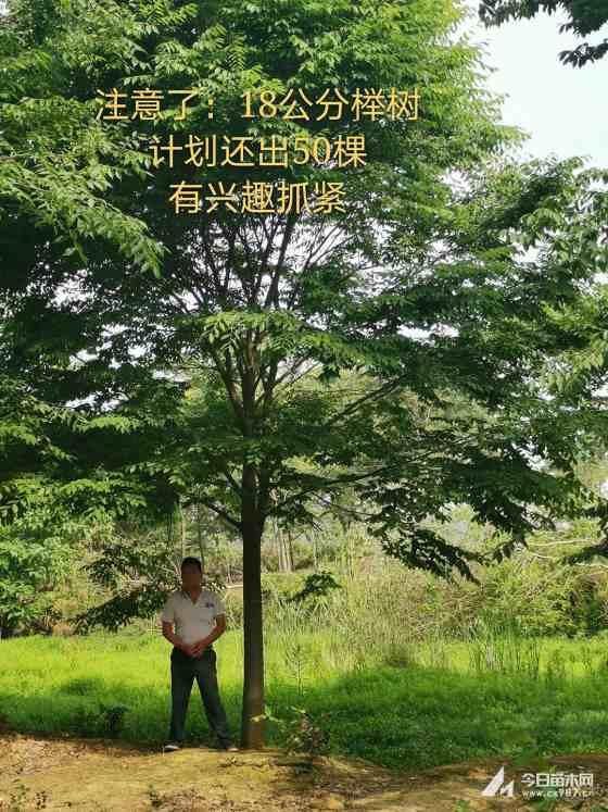 25-30公分榉树市场价格 榉树就要操批发
