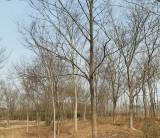 25-30公分榉树市场价格 榉树苗木批发