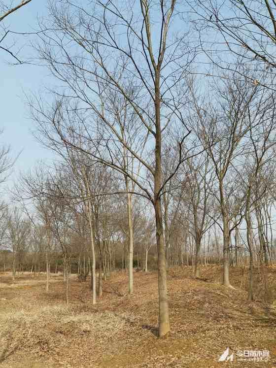 18公分榉树价格 红榉树19公分多少钱