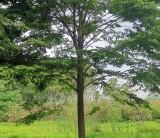 优质榉树批发 行情 榉树地苗种植基地报价