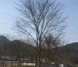 10公分榉树市场报价 批发 江苏榉树苗圃