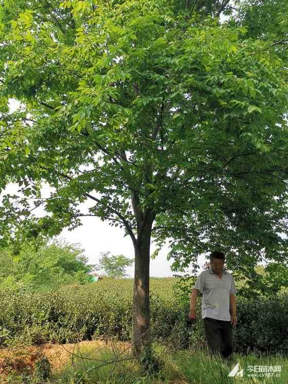 25公分榉树什么价 榉树精品苗报价表