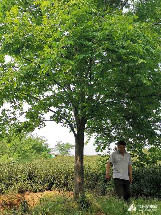 江苏榉树批发 行情 榉树15公分报价